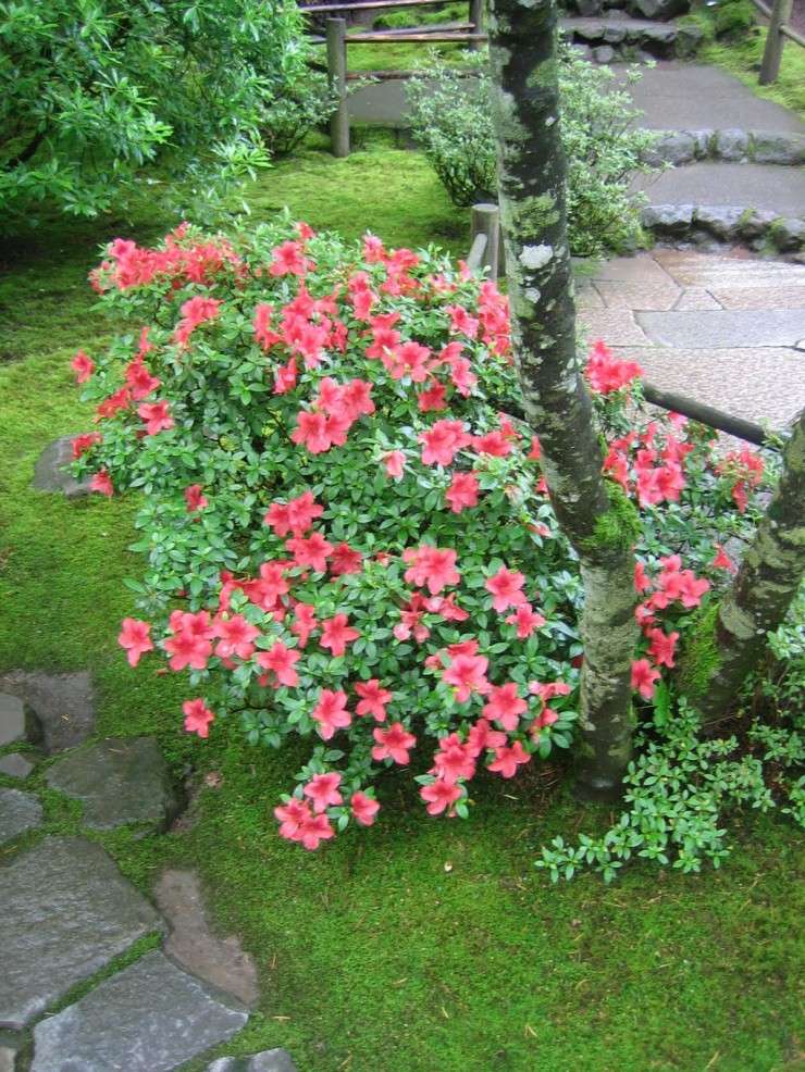 Rhododendrons and Azaleas For Your Japanese Garden (10)