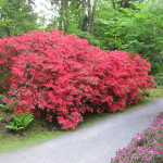 Rhododendrons and Azaleas For Your Japanese Garden (11)