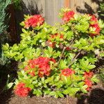 Rhododendrons and Azaleas For Your Japanese Garden (12)