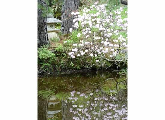 Rhododendrons and Azaleas For Your Japanese Garden (14)