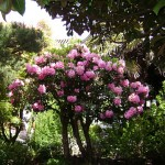 Rhododendrons and Azaleas For Your Japanese Garden (15)