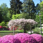 Rhododendrons and Azaleas For Your Japanese Garden (18)