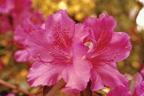 Rhododendrons and Azaleas For Your Japanese Garden (19)
