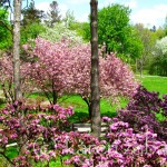 Rhododendrons and Azaleas For Your Japanese Garden (2)