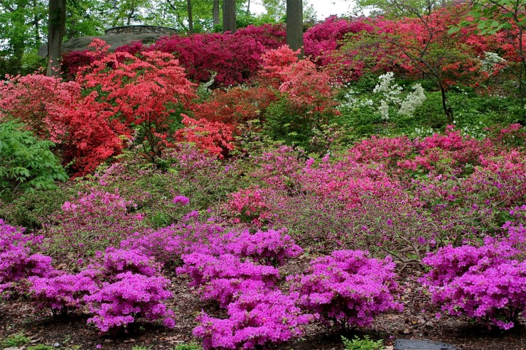 Rhododendrons and Azaleas For Your Japanese Garden (20)