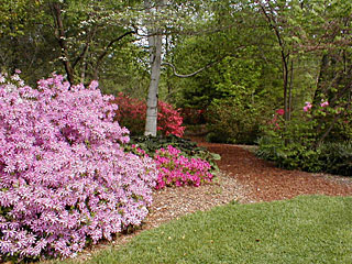 Rhododendrons and Azaleas For Your Japanese Garden (22)