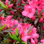 Rhododendrons and Azaleas For Your Japanese Garden (27)