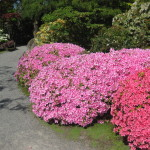 Rhododendrons and Azaleas For Your Japanese Garden (28)