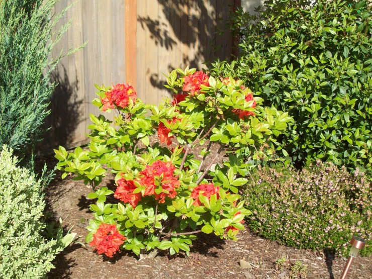 Rhododendrons and Azaleas For Your Japanese Garden (32)