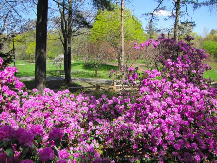Rhododendrons and Azaleas For Your Japanese Garden (33)