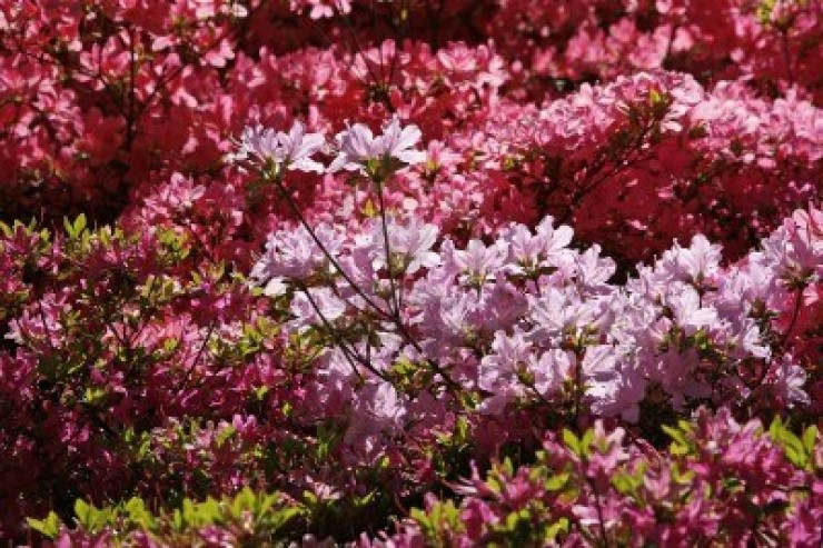 Rhododendrons and Azaleas For Your Japanese Garden (36)