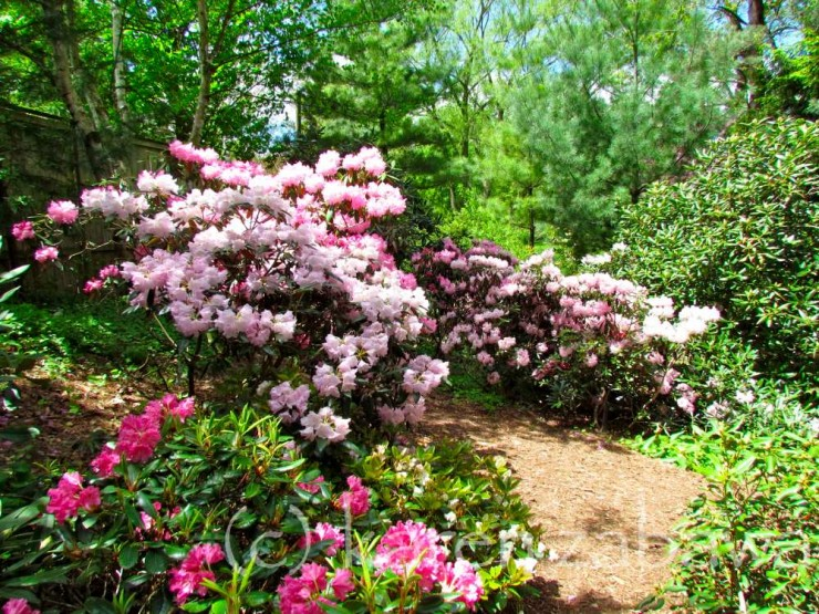 Rhododendrons and Azaleas For Your Japanese Garden (37)