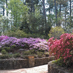 Rhododendrons and Azaleas For Your Japanese Garden (4)