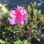 Rhododendrons and Azaleas For Your Japanese Garden (9)