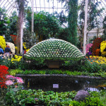 Kiku: the Chrysanthemum exhibit at the Botanical Garden